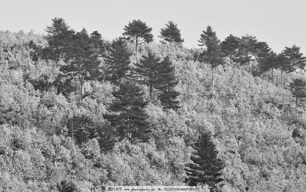 黑白森林风光 黑白 森林 树林 风景 风光 景色 景观 大树 树木 风光