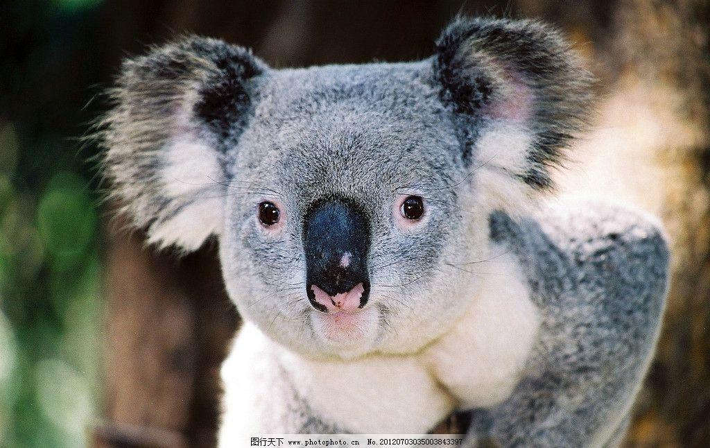 可爱 树熊 考拉 野生动物 生物世界 摄影 300dpi jpg