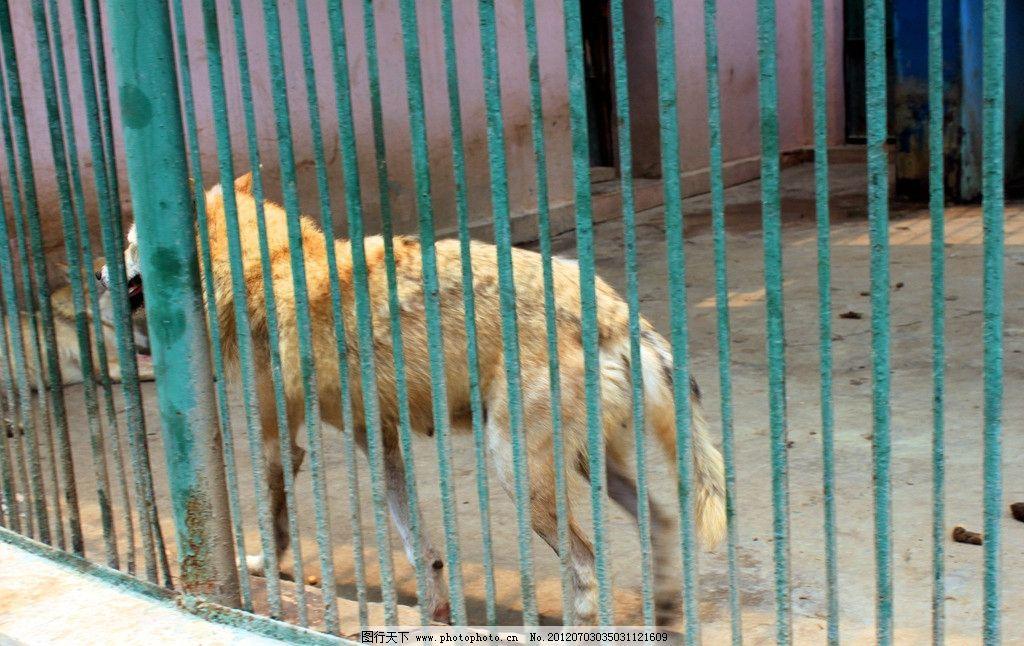 笼中的狼 笼子 动物 动物园 野生动物 生物世界 摄影