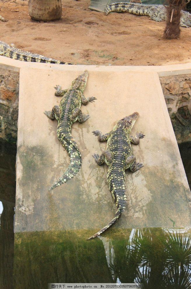 鳄鱼 动物 动物园 野生动物 生物世界 摄影 300dpi jpg