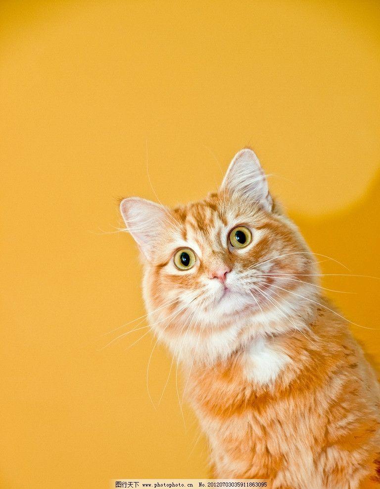 可爱小猫 小猫 猫咪 宠物 可爱 动物 家禽家畜宠物 家禽家畜 生物世界