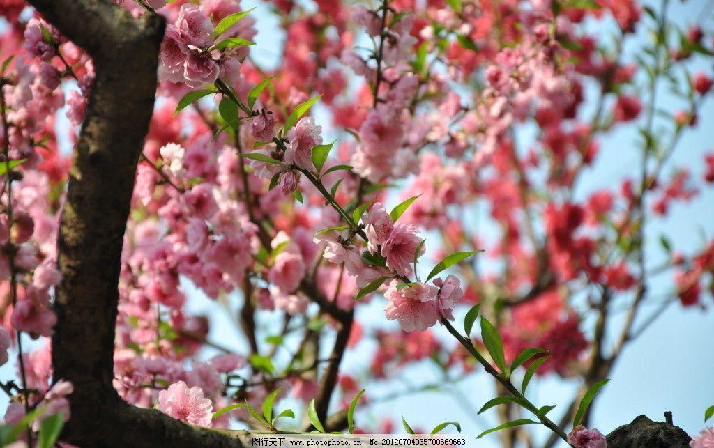 一树桃花 桃花 红桃花 红桃 蓝天 春天 阳光 树枝 枝干 绿叶 花开灿烂