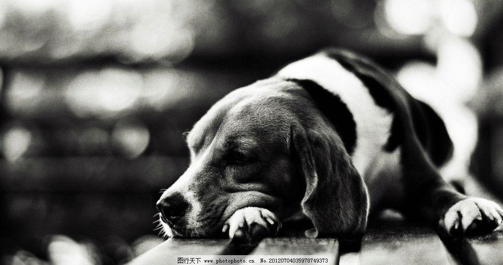 狗狗 小狗 宠物狗 宠物 温馨 黑白照 可爱 凳子 无辜 眼神 木讷 家禽