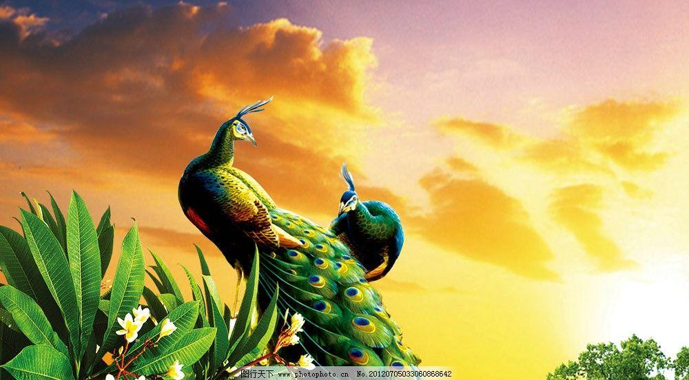 孔雀 火烧云 孔雀图片 高贵 华丽 尊贵 植物 动物 黄昏 psd分层素材