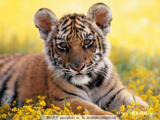 小老虎崽 一只 小老虎 可爱     黄色 jpg