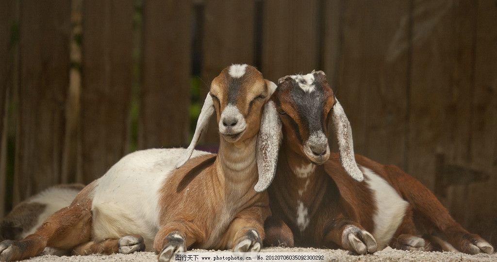 小羊 动物 摄影 高清 羊驼 饲养 野生动物世界
