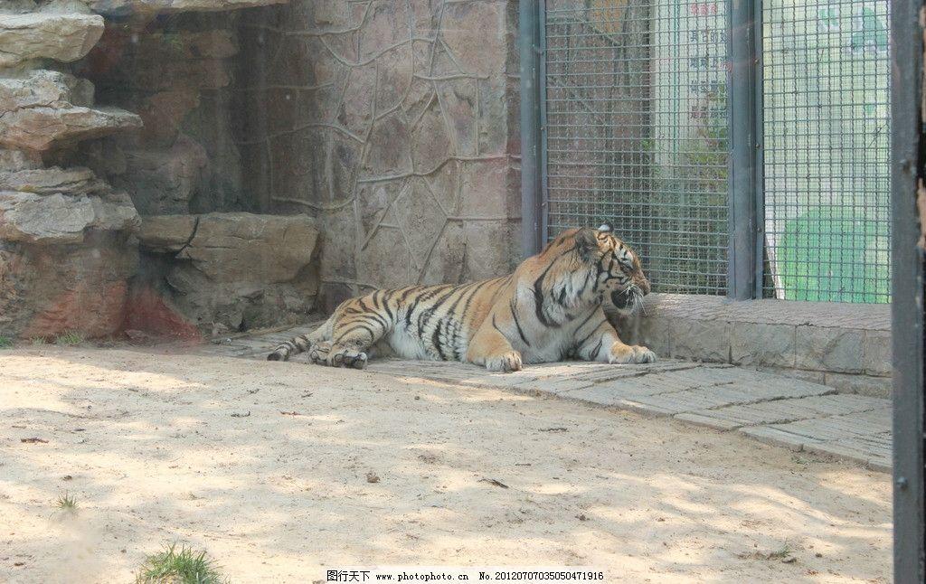 老虎 动物 动物园 济南动物园 生命 笼子 野生动物 生物世界 摄影 72