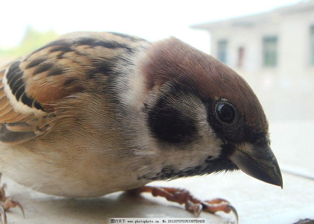 麻雀 受伤 侧面 特写 可爱 鸟类 生物世界 摄影 72dpi jpg