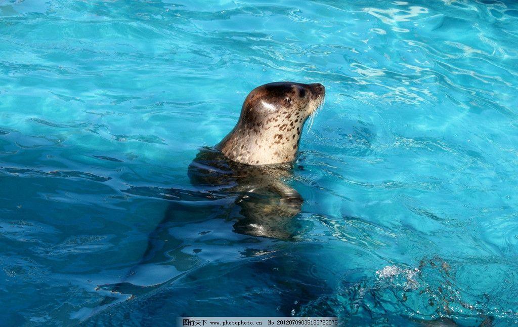 海豹 大海 蓝色 海洋生物 生物世界 摄影 72dpi jpg