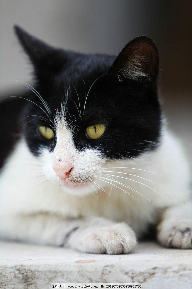 猫咪 黑白猫 小猫 可爱的动物 家禽家畜 生物世界 摄影 72dpi jpg