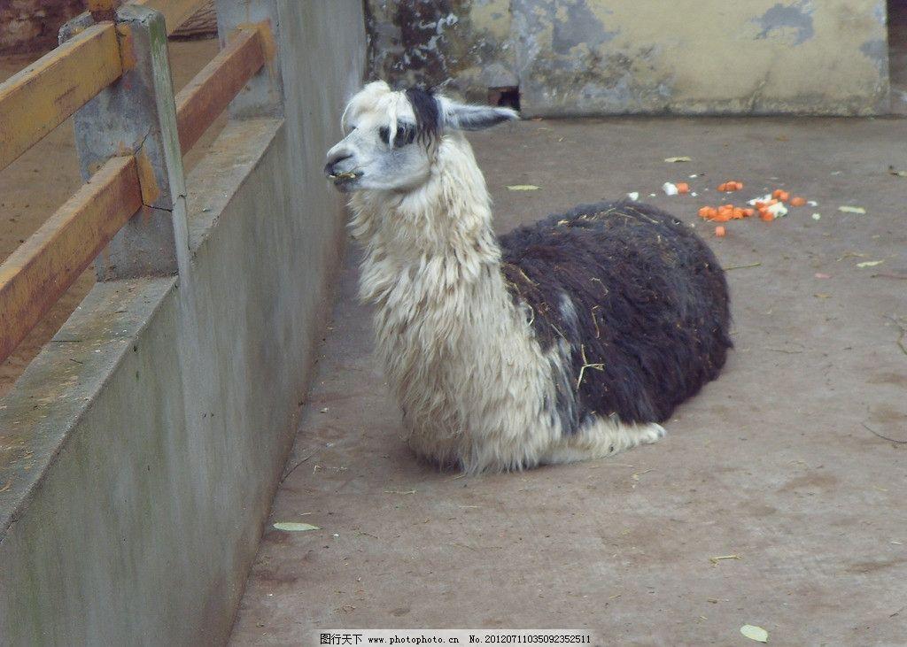 山羊 南京 野生动物 生物世界 摄影