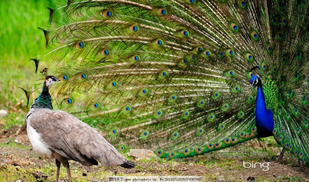 孔雀 美丽 羽毛 缠着 展翅 凤凰 此凤凰 动物园 战士 鸟类 尾巴 骄傲