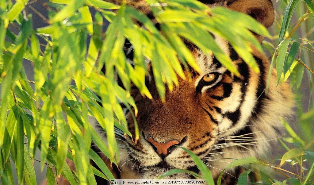 老虎 动物 虎仔 野生动物 生物世界 摄影
