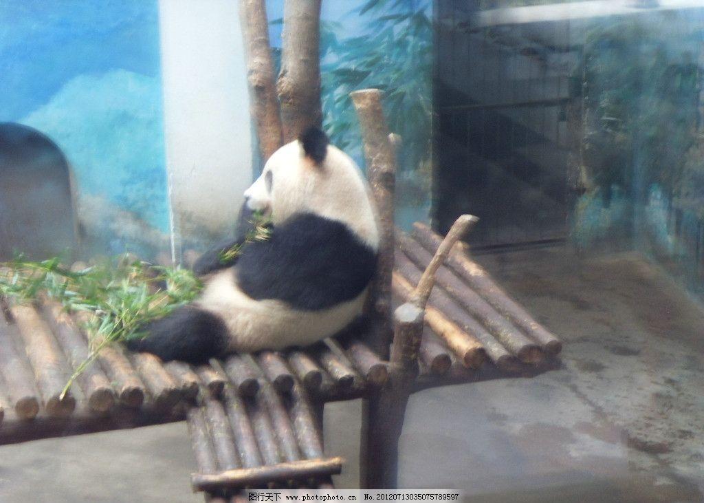 大熊猫 国宝 小熊猫 熊猫馆 啃竹子 吃竹子 可爱 一级保护动物