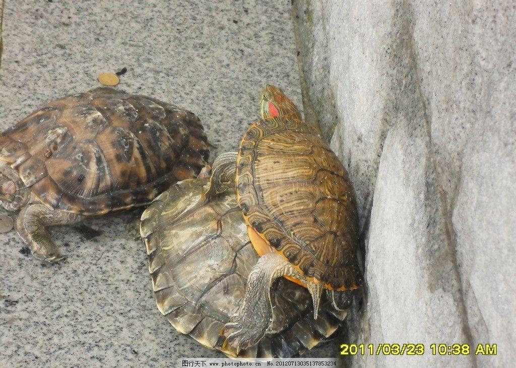 乌龟 龟池 野生动物 海洋生物 生物世界 摄影 96dpi jpg