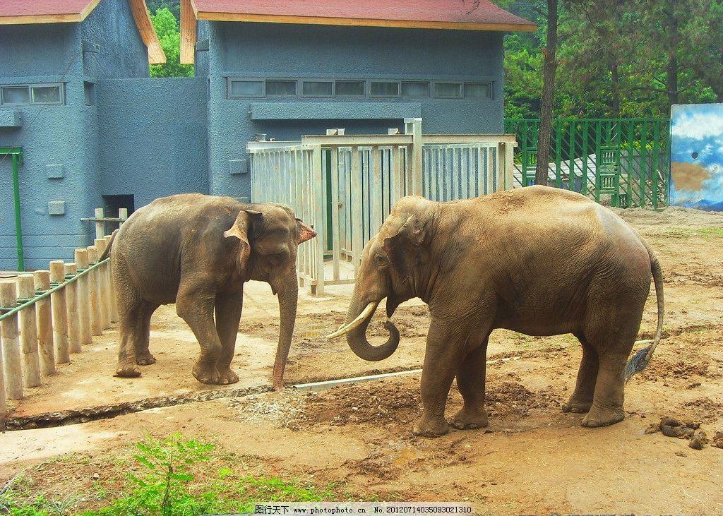 大象 象牙 象鼻子 南京 动物园 红山动物园 生物世界 野生动物