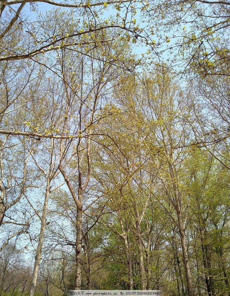 树林 树枝 天空 春天 白杨树 杨树 大树 森林 自然风景 自然景观 摄