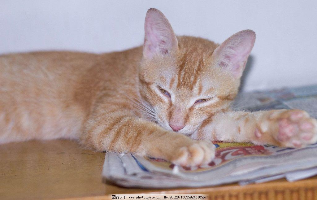 猫咪 喵咪 小猫 宠物 懒猫 小可爱 家禽家畜 生物世界 摄影 240dpi