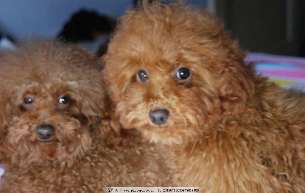 泰迪狗 可爱 宠物 家禽家畜 生物世界 摄影 300dpi jpg
