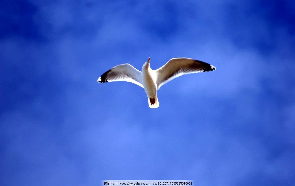 海鸥图片,鸟类 海鸟 飞翔的海鸥 鸟类素材 海鸥素材