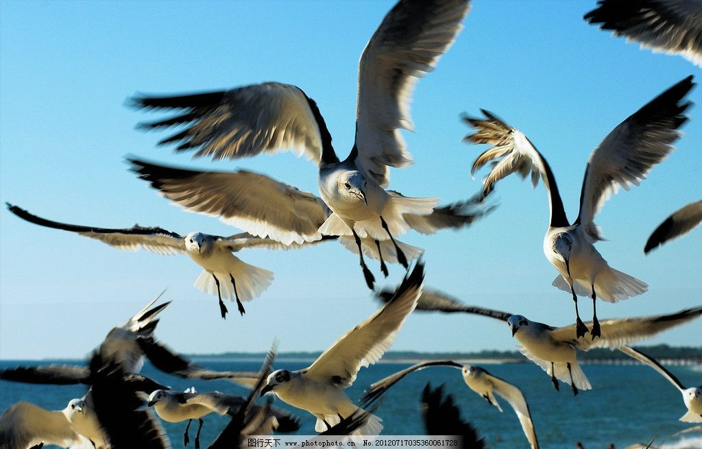 飞翔的海鸥 鸟类素材