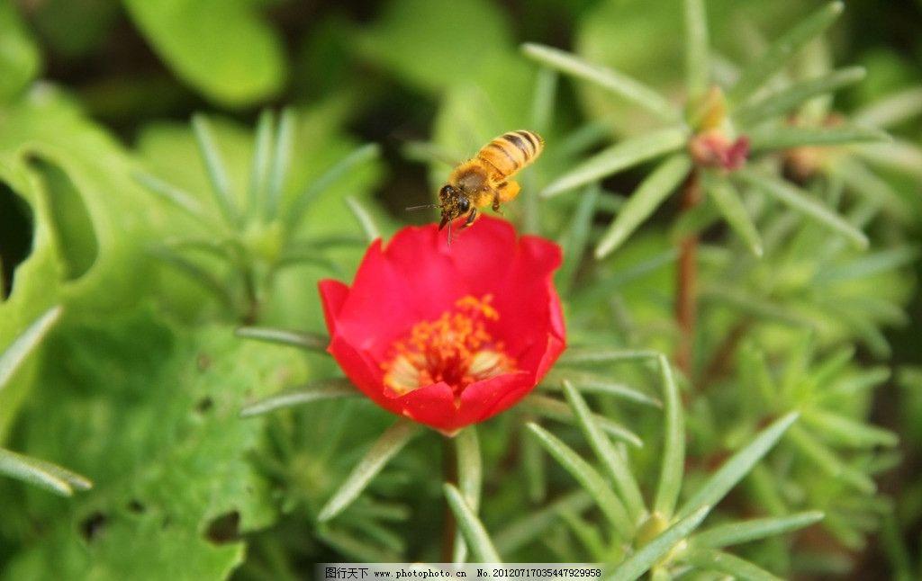 太阳花 蜜蜂 夏日 采蜜 花开 炎炎夏日百花开 小小蜜蜂采蜜 摄影