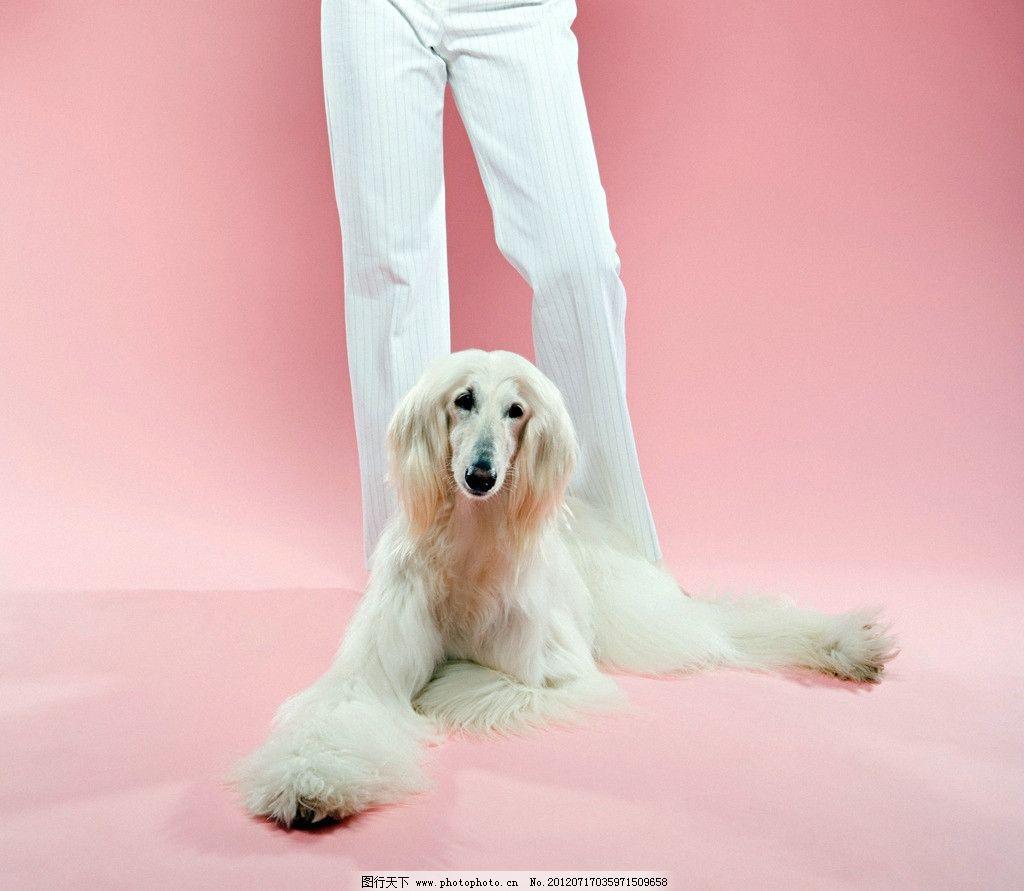 宠物犬 阿富汗猎犬 猎犬 白色猎犬 长毛猎犬 趴着猎犬 狗狗 宠物狗