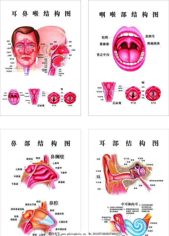 五官 结构图 鼻 咽喉 耳 矢量