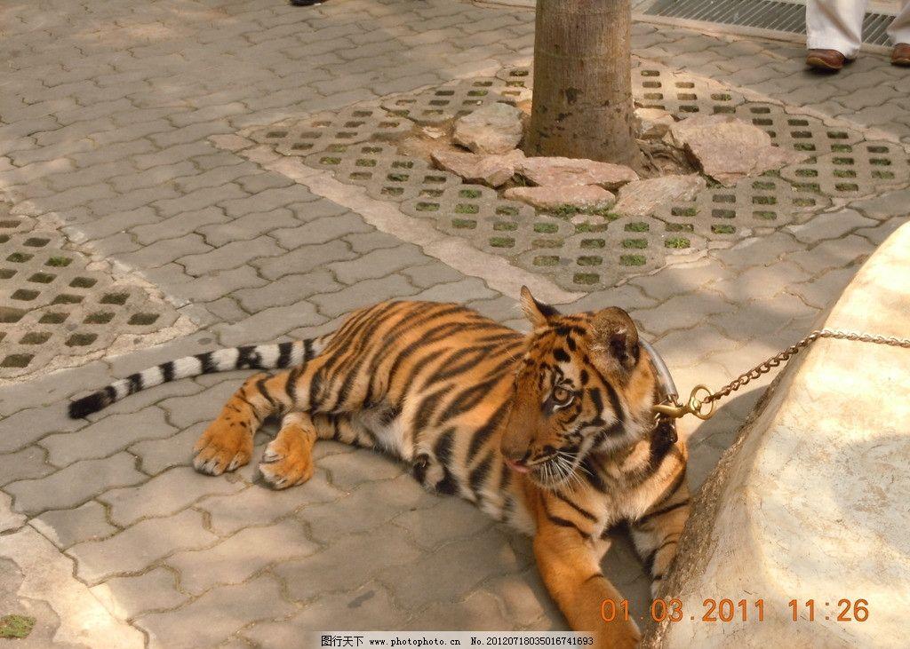 老虎 动物园 野兽 猛虎 野生动物 森林之王 虎虎生威 珍惜动物 食肉