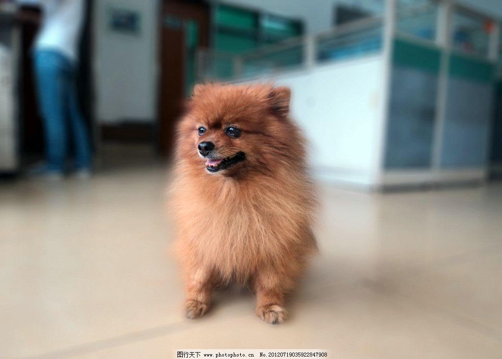 波比 宠物狗 博美 可爱 家禽家畜 生物世界 摄影 72dpi jpg