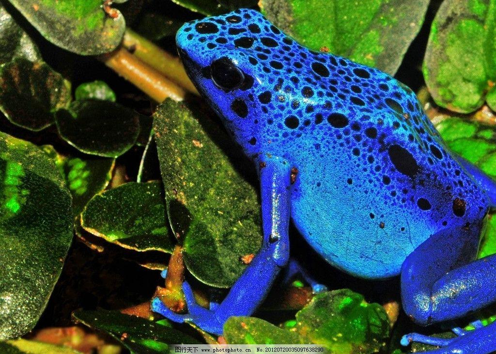 蓝色箭毒蛙图片_野生动物_生物世界_图行天下图库