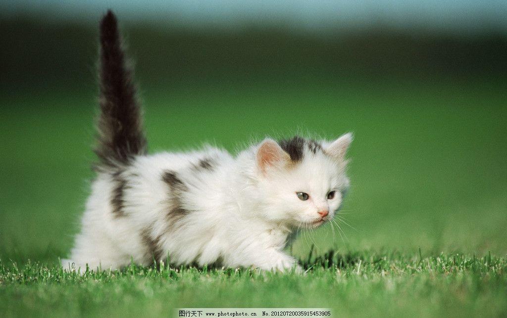 猫 宠物猫 小猫 猫咪 小花猫 小懒猫 猫咪艺术照 绿草地 玩耍小猫