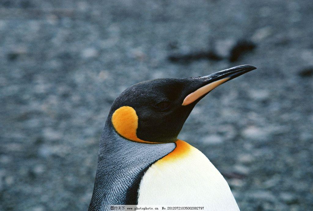 企鹅 南极 鸟类 哺乳 野生动物 生物世界 摄影 350dpi jpg