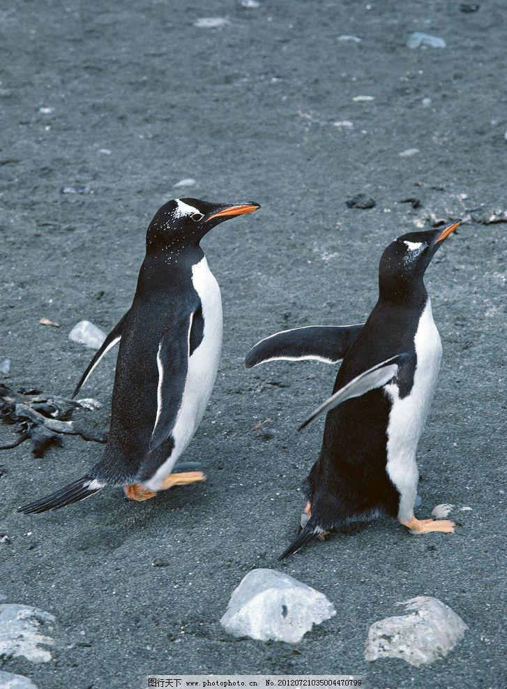 企鹅 南极 鸟类 哺乳 冰山 张开翅膀的企鹅 野生动物 生物世界 摄影