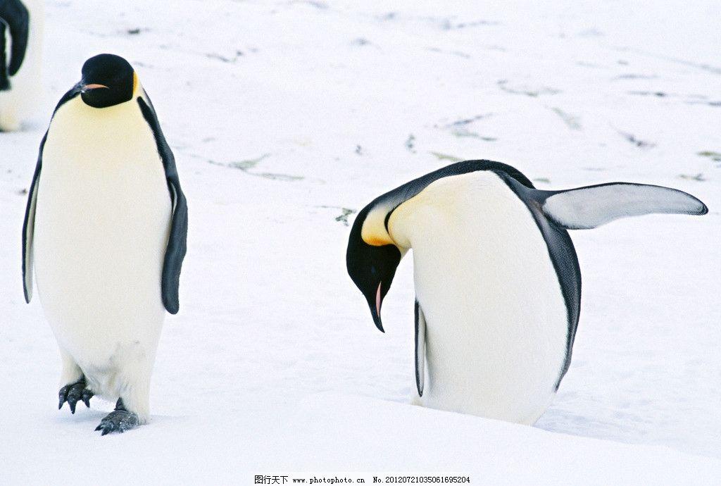 企鹅 南极 鸟类 哺乳 冰山 野生动物 生物世界 摄影