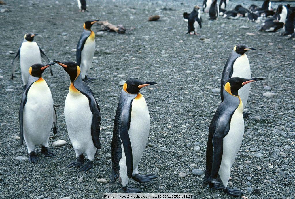 企鹅 南极 鸟类 哺乳 冰山 排队 野生动物 生物世界 摄影