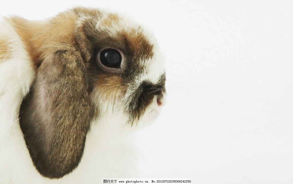 兔子 垂耳兔 兔耳朵 灰色兔子 宠物兔子 兔绒毛 兔子表情 可爱兔子