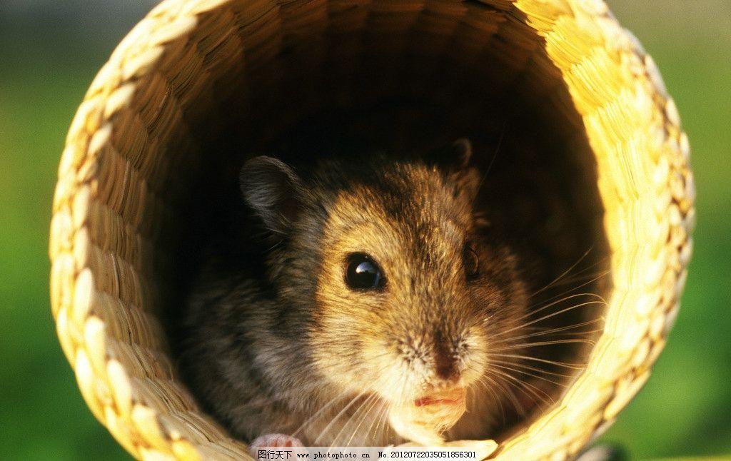 宠物鼠 老鼠 小老鼠 小仓鼠 小箩筐 可爱老鼠 淘气鼠 猫与鼠 野生动物