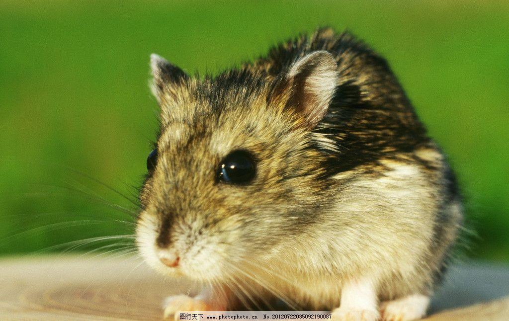 宠物鼠 老鼠 小老鼠 小灰鼠 小仓鼠 小箩筐 可爱老鼠 淘气鼠 猫与鼠
