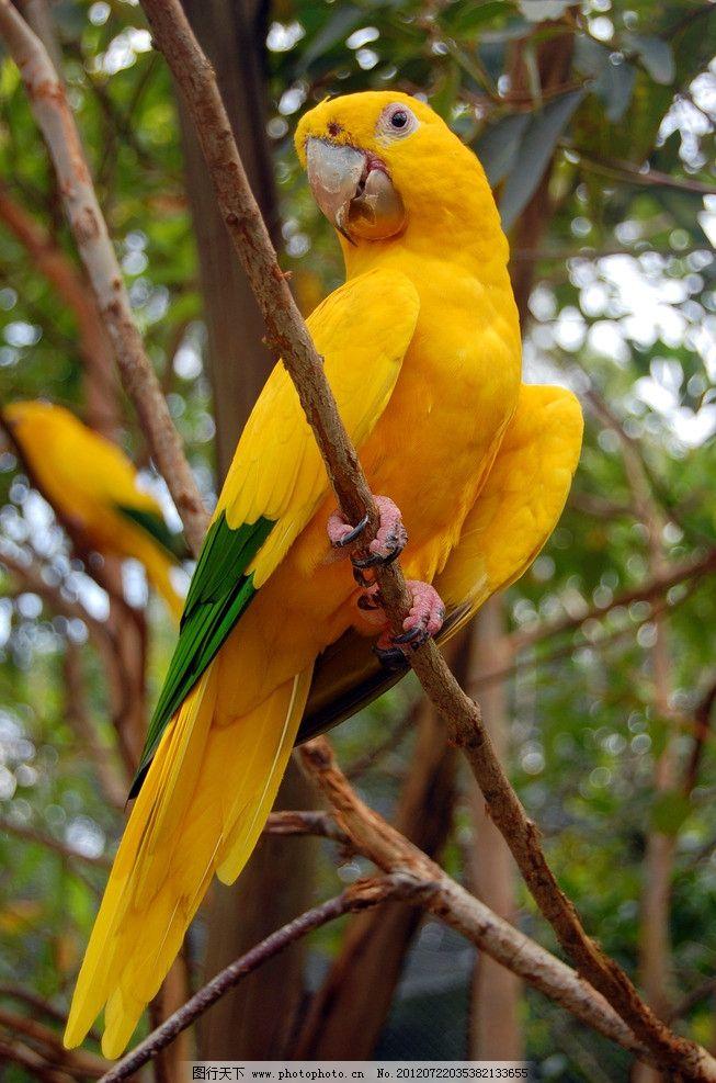 金刚鹦鹉 鹦鹉 鸟类 珍稀动物 珍稀鸟类 保护动物 黄色 生物世界 摄影