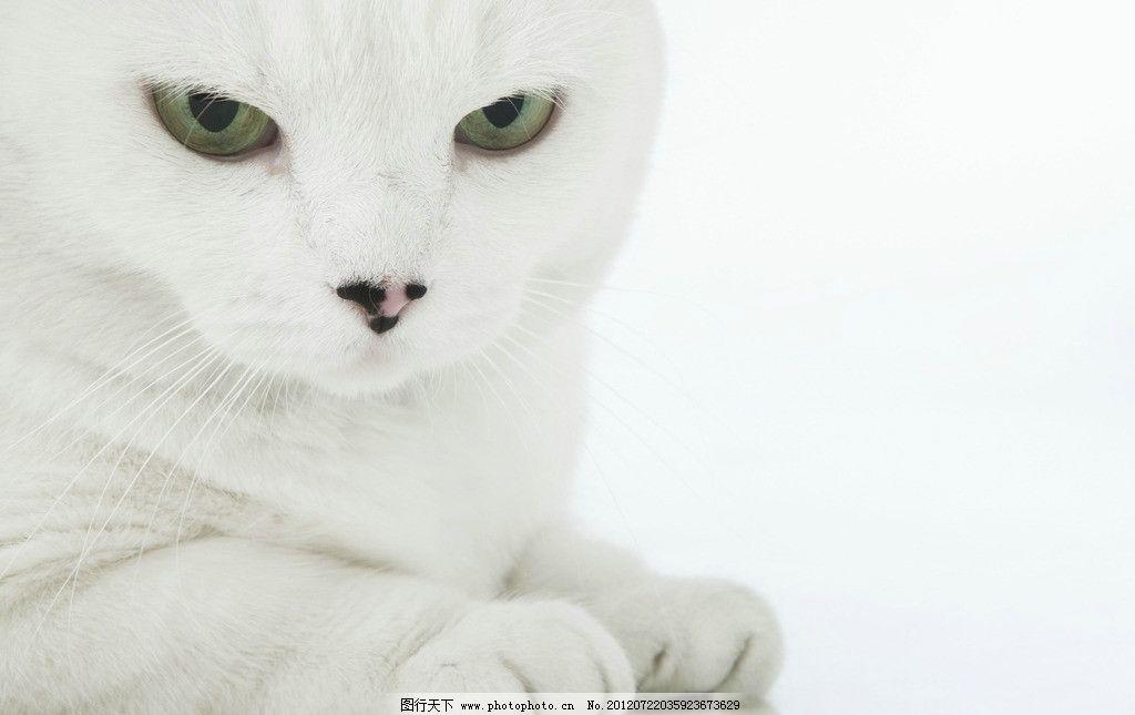 白猫 绿眼睛 猫 白猫特写 宠物猫 小猫 猫咪 懒猫 猫咪艺术照 纯种猫