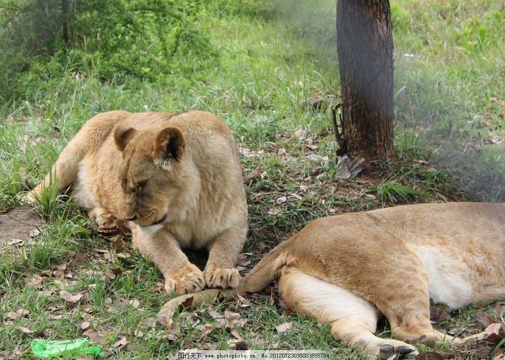 动物园 狮子图片