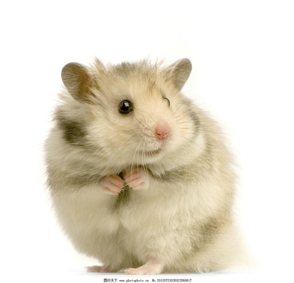 宠物鼠 小动物 可爱 眼神 野生动物 生物世界 摄影 300dpi jpg