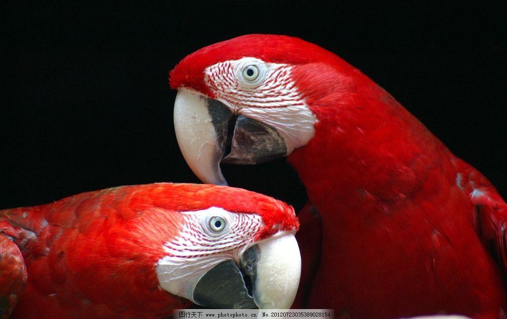 鹦鹉 鸟类 红色 多彩 珍稀动物