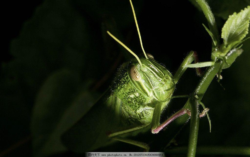 蝗虫 昆虫 野生动物 动物 特写 昆虫摄影 户外 生态 自然 生物世界