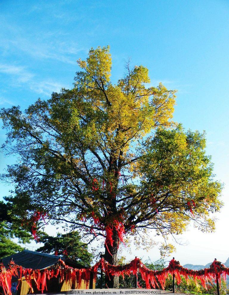 树枝 陕西 华山 石台 悬崖 平台 梧桐树 枝叶 铁索 锁链 树干 蓝天 白