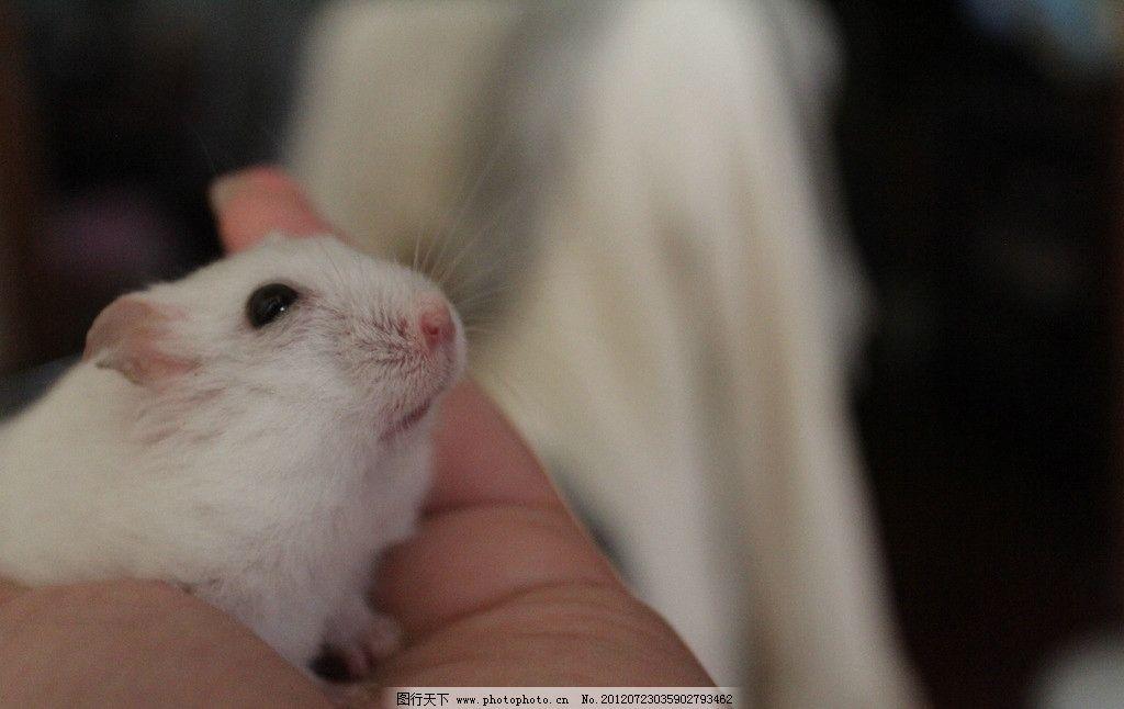 最可爱的银狐仓鼠