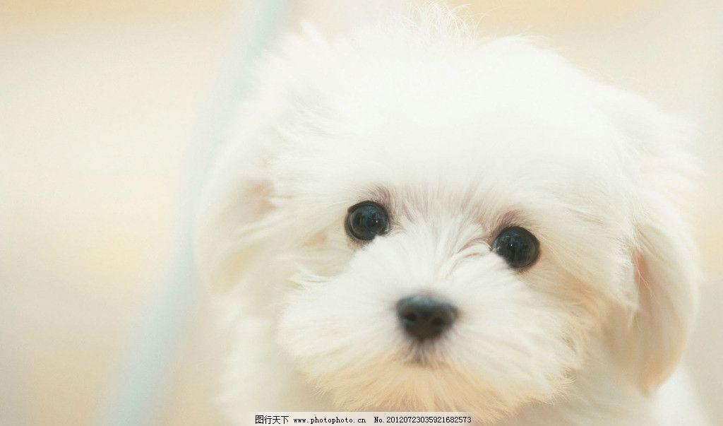 小狗 狗狗 白色 比熊狗 桌面壁纸狗 动物壁纸 摄影