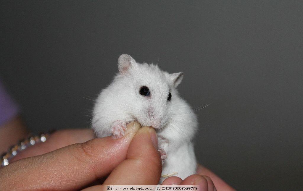 仓鼠 银狐仓鼠 可爱 小动物 动物图片 家禽家畜 生物世界 摄影 72dpi