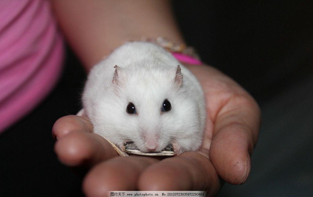 仓鼠吃瓜子 仓鼠 小动物 可爱 银狐仓鼠 动物图片 家禽家畜 生物世界